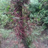 陕西皂角树供应 5-6-7-8公分皂角树批发处理