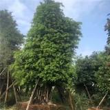 高度5米小叶榕桩头多少钱 6米高造型小叶榕树价格