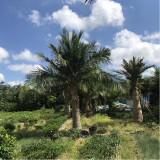 哪里有国王椰子树批发 国王椰子树多少钱一棵