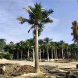 国王椰子价格 漳州基地出售国王椰子树苗