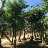 漳州小叶榕桩头价格 行情 高度7米造型小叶榕基地现发