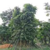 批发小叶榕造型苗 行情 福建造型小叶榕桩头种植基地