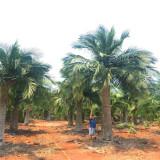 国王椰子批发价格 国王椰子种植基地