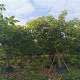 漳州哪里有富贵榕 福建12公分富贵榕价格