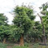 3米小叶榕价格 4米造型小叶榕桩头批发