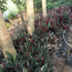 七彩竹芋种植  七彩竹芋价格