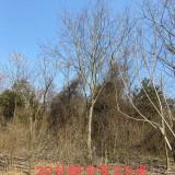 浙江直径20公分朴树价格 分支点3.5米朴树多少钱
