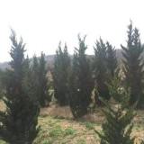 安徽龙柏树出售  龙柏树苗供应价格