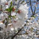 浙江绍兴樱花基地 10公分12公分樱花树市场价格