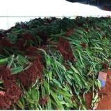 山东火龙果  火龙果种植基地  火龙果批发价格