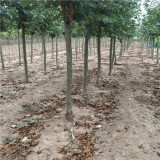 山楂树苗批发   山东山楂树种植基地