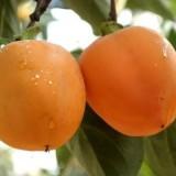 山东柿子树苗种植基地  柿子树苗批发价格