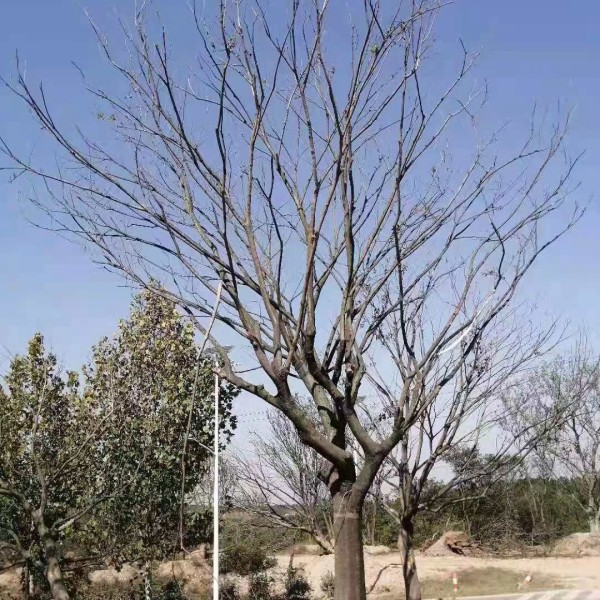 地径8公分9公分10公分单杆朴树价格    单杆朴树基地直销