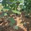 杜仲树苗多少钱一棵 杜仲苗种植基地在哪里