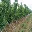 大樱桃树苗厂家供应 5公分樱桃树价格