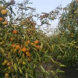 枣树苗批发价格 枣树苗哪里有卖