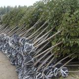 1-2公分樱桃树苗批发 樱桃树苗多少钱一棵