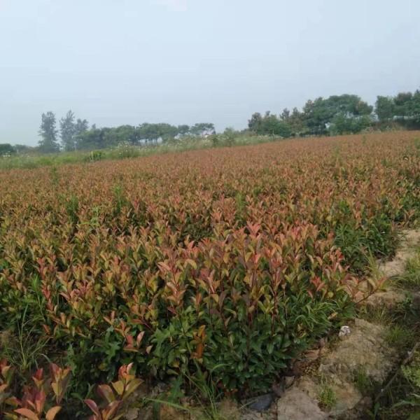 红叶石楠杯苗哪里有卖  红叶石楠杯苗批发价格