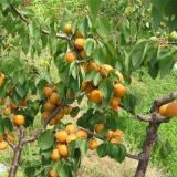 山东杏树树苗批发 1公分杏树苗多少钱一棵