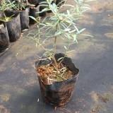 木犀榄多少钱一棵 木犀榄种植基地 油橄榄批发