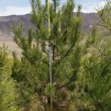 樟子松苗价格 5米高樟子松多少钱一棵