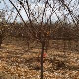 8公分红梅多少钱一棵 8公分腊梅树价格
