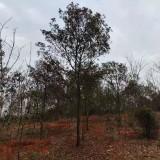 求购湖南地区杜英树 米径28-30公分杜英报价