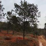 15公分杜英树价格 16公分杜英产地批发