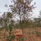 湖南25公分杜英价格 批发 优质杜英树出售