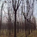 苦楝树市场价格 江苏苦楝树哪里有