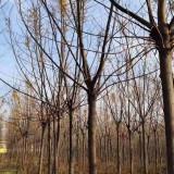 苦楝树供应基地 10公分苦楝树价格