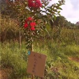 优质红火箭紫薇供应 美国红火箭紫薇4-5公分价格