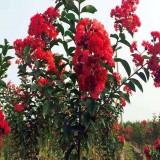 红火箭紫薇价格 江苏红火箭紫薇树苗基地直发