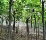 5公分黄山栾树多少钱一棵 黄山栾树价格表