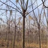 苦楝树产地批发 12公分15公分18公分苦楝树报价