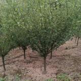 红梅树多少钱一棵  10公分红梅树苗行情
