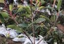 江苏徐州红叶石楠批发价格 红叶石楠大杯苗多少钱