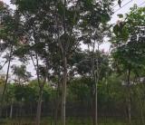 15公分黄山栾树哪里有卖的 12-15公分黄山栾树价格表