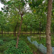 12公分乌桕树价格 12公分15公分乌桕出售
