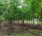 乌桕树多少钱一棵 安徽乌桕树苗基地批发价格