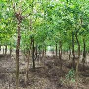 10公分乌桕树价格 10公分乌桕树基地批发