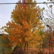 美国红枫小苗报价 3-5-10公分美国红枫价格