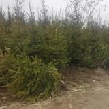 徐州哪里有卖云杉 4米高云杉树价格