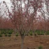 江苏樱花基地直销  樱花树批发价格  3公分 5公分樱花树