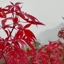 哪里有卖美国红枫  红枫行情  红枫多少钱一棵