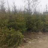 2米云杉价格 3米云杉树苗多少钱一棵