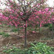 垂丝海棠多少钱一棵 5公分8公分垂丝海棠价格