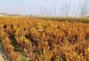 瓜子黄杨树价格表 基地批发瓜子黄杨树报价表