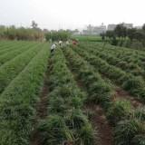 麦冬草多少钱一平米 麦冬草批发价格