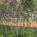 香花槐树苗批发 3公分4公分5公分香花槐树苗价格